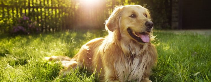 Is a Golden Retriever a Good Fit for You?