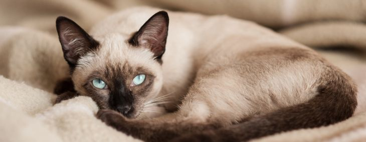 What Are the Characteristics of Siamese Cats?