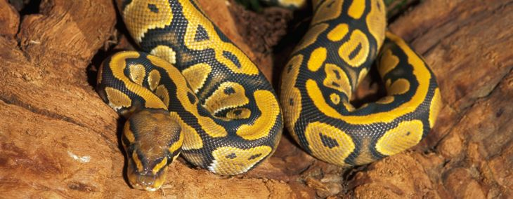All You Need to Know About Ball Pythons