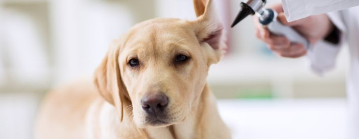 What is Vestibular Disease in Dogs?