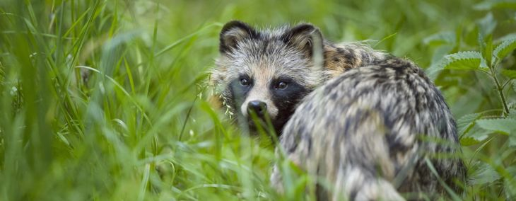 Crazy Facts About Raccoon Dogs