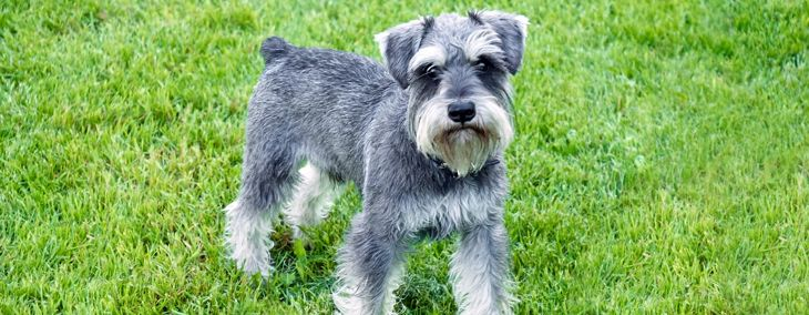 Are Miniature Schnauzers Good Pets?