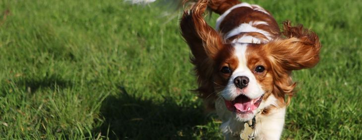 All About The King Charles Spaniel