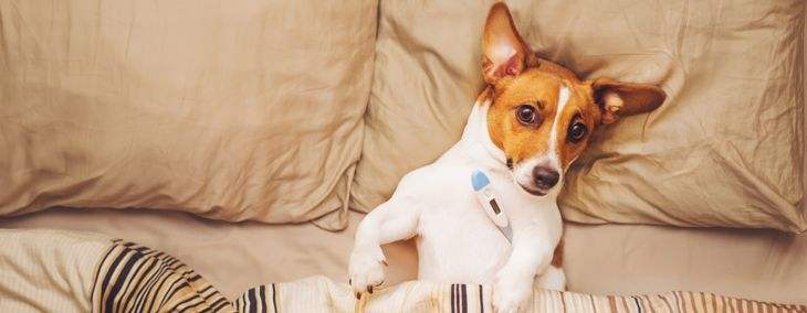 What Does a Fever Mean In Dogs?