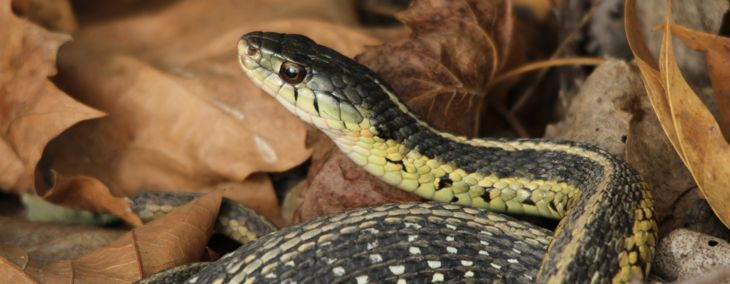 Are Garter Snakes Dangerous to Humans?