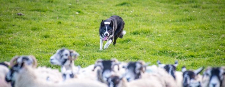 The Smartest Dog Breeds in the World