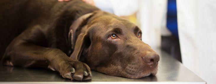All About Canine Parvovirus