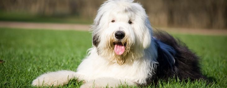 Everything About Old English Sheepdogs