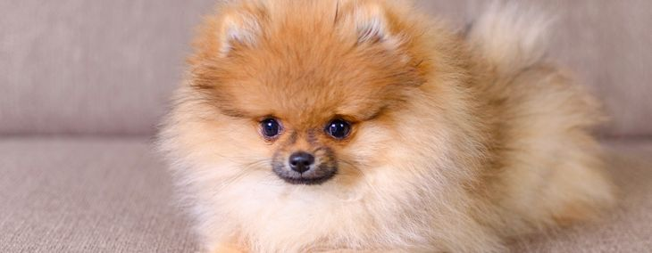German Pomeranians: The Good and the Bad