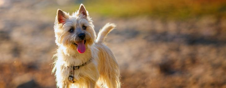 What You Need To Know About Cairn Terriers