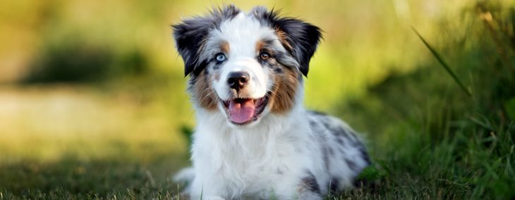 Everything You Need to Know About Mini Aussie Dogs
