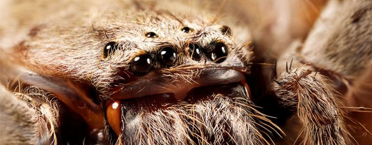 What on Earth is a Huntsman Spider?