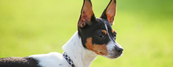 Is a Rat Terrier the Right Dog for You?
