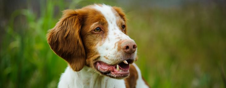 Is the Brittany Spaniel a Good Family Pet?