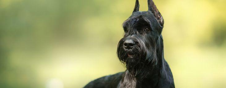 What You Need to Know About Giant Schnauzers
