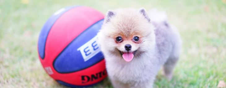 Teacup Pomeranian: The World's Cutest Dog