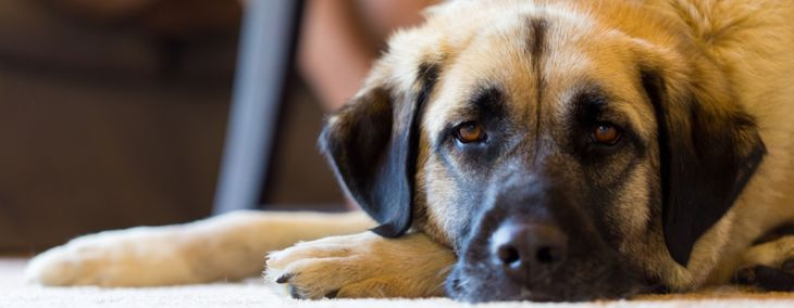 Why an Anatolian Shepherd Could Be the Pet for You