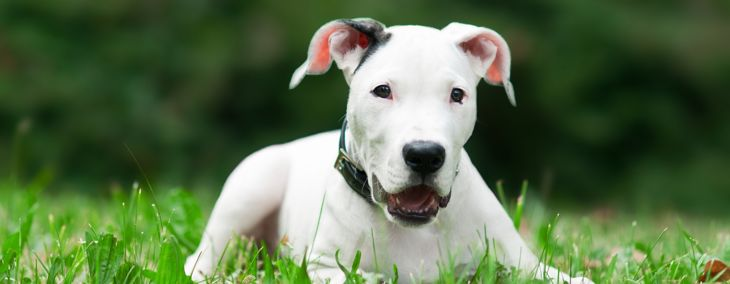 All You Need to Know About the Dogo Argentino