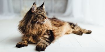 A Guide to Maine Coon Cats