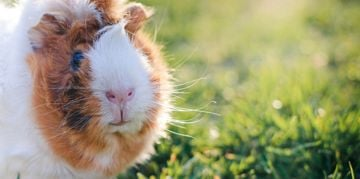 Add an Abyssinian Guinea Pig to Your Family