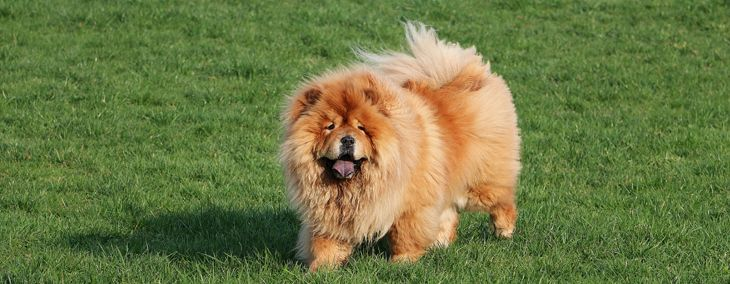 A Guide to the Chow Chow, the Fluffy Lion Dog