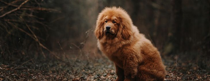 Tibetan Mastiff: An Independent and Loyal Companion