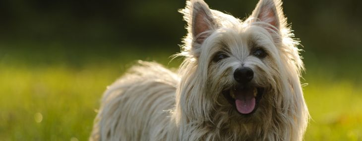 Terrier Breeds for New and Experienced Owners