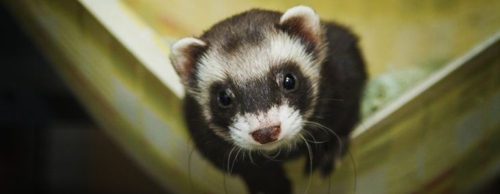 Caring for Your Feisty and Friendly Ferret