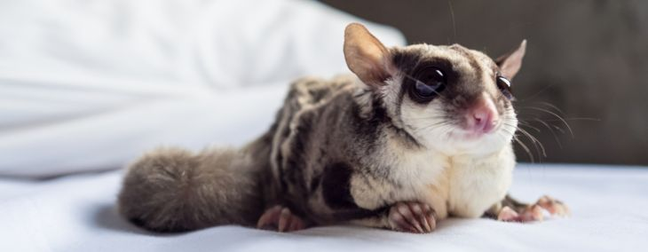 Sugar Gliders: Adorable Pets That Need Serious Care
