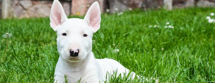 Everything You Need to Know About the Bull Terrier