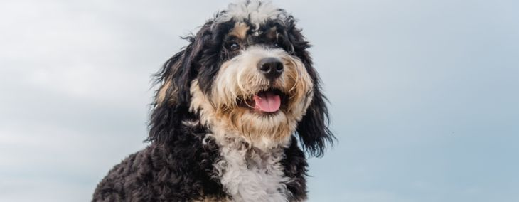 Everything to Know About Bernedoodles