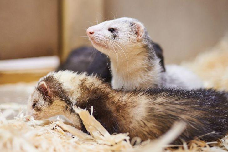 Three ferrets on wood shavings in an enclosure.