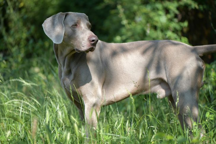 household pets hunting weimaraner