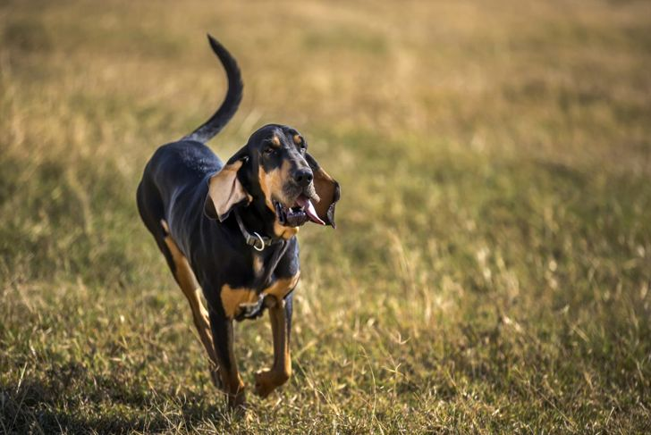 Bloodhound running