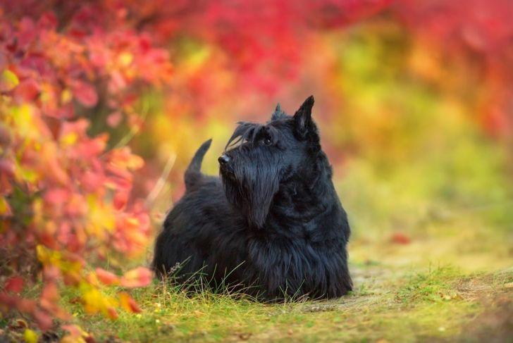 scottish terrier fearless headstrong scottie