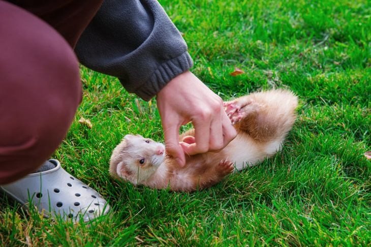 Ferret on it's back by a persons hand.