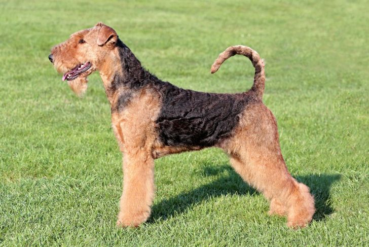 black tan kings largest airedale