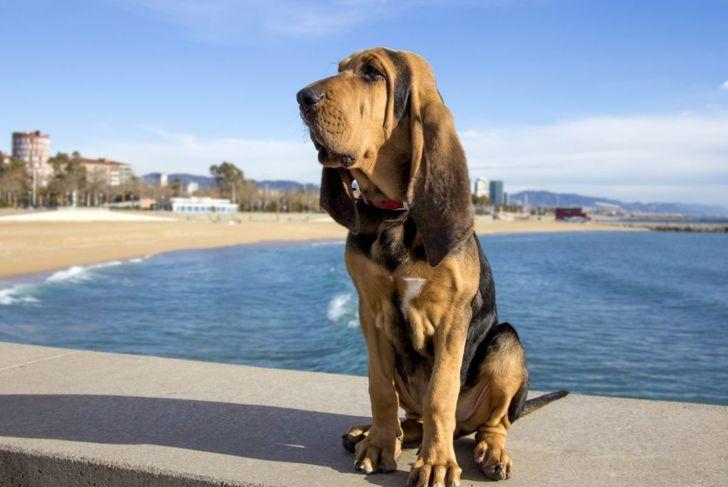 bathing smells bad excessive bloodhound