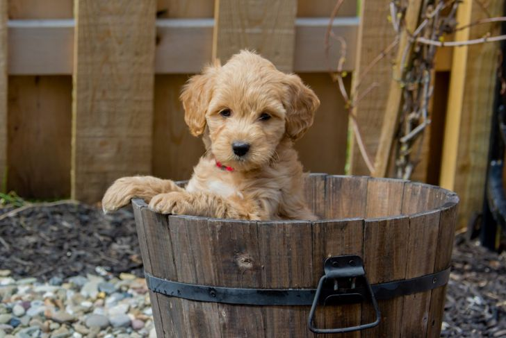 Mini Goldendoodle puppy showing cuteness
