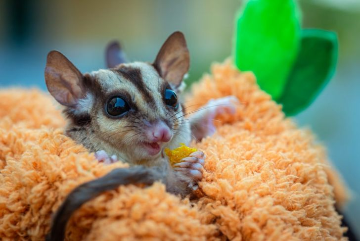 Sugar glider snuggles in towel