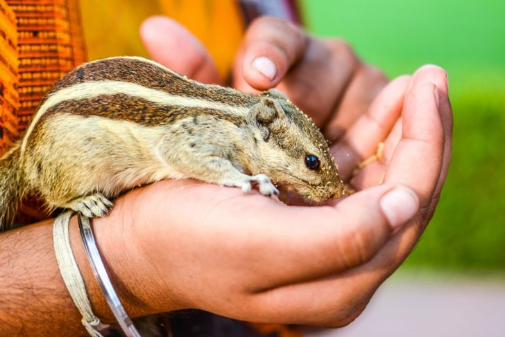 chipmunk, illness, disease, sick, health issues