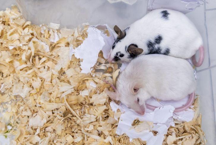 Pet mice on bedding