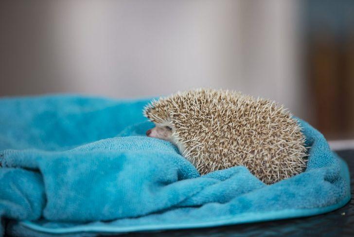 Hedgehog on a towel