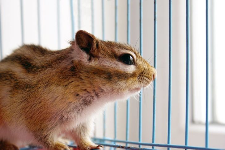 chipmunk, cage, housing