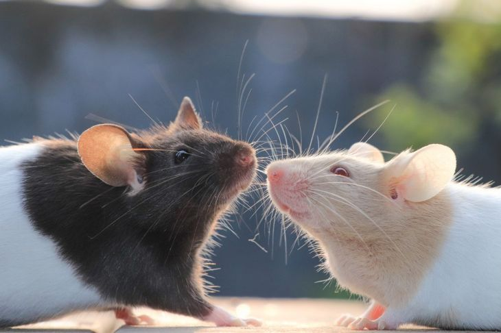 Two beautiful pet mice