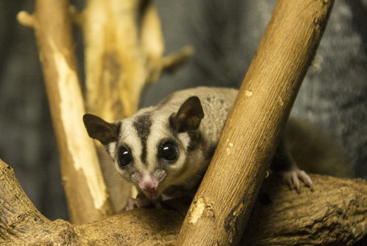 Sugar glider on branch