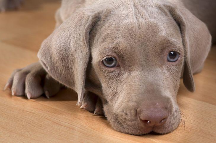 gastric torsion tremors health puppy