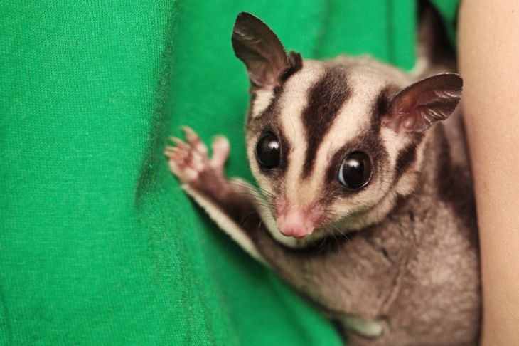 Sugar glider on green background