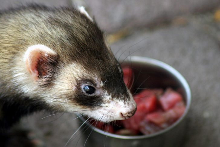 Ferret in front of food bowl.