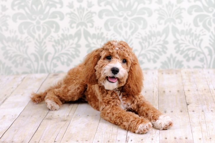 Cockapoo Dog Laying